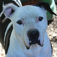 Adopt A Pet :: Rocco - Savannah, MO