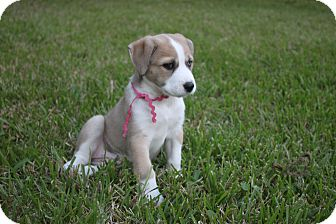 Husky Mix Puppy for adoption in Friendswood, Texas - Hanna