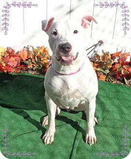 American Bulldog Mix Dog for adoption in Marietta, Georgia - RIFA