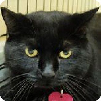 Domestic Shorthair Cat for adoption in Medford, Massachusetts - Shadow