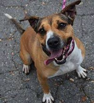 American Staffordshire Terrier Mix Dog for adoption in Ozone Park, New York - Angel