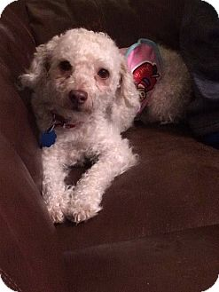 Poodle (Toy or Tea Cup) Mix Dog for adoption in Aiken, South Carolina - Teddy