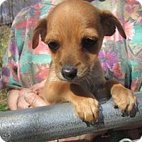 Adopt A Pet :: CORKY - Williston Park, NY