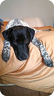German Shorthaired Pointer/Labrador Retriever Mix Dog for adoption in Columbus, Ohio - RoxyRoo