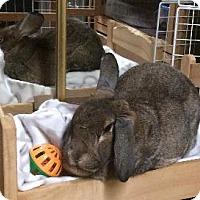 Adopt A Pet :: Truffle - Woburn, MA