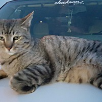 Domestic Shorthair Cat for adoption in Scottsdale, Arizona - Courtesy Post- Kolby