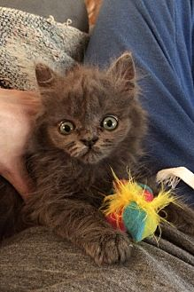 Domestic Longhair Kitten for adoption in Audubon, New Jersey - Lilac