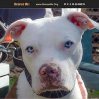 Adopt A Pet :: Prince - Pomona, NY