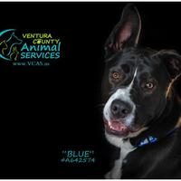 Adopt A Pet :: BLUE - Camarillo, CA