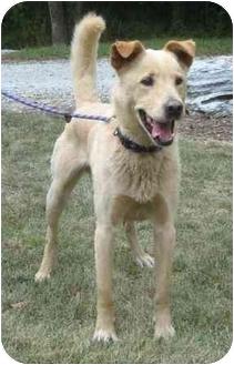 Labrador Retriever/Shepherd (Unknown Type) Mix Dog for adoption in Salem, Massachusetts - Chattersworth