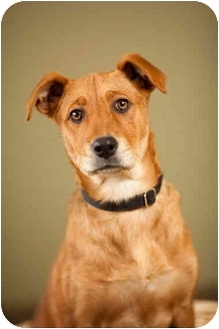 Labrador Retriever Mix Puppy for adoption in Portland, Oregon - Biscuit