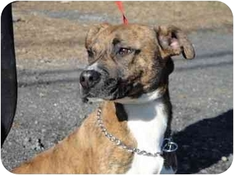 Pointer/American Pit Bull Terrier Mix Dog for adoption in Long Beach, New York - Lance