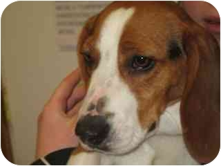 Beagle Dog for adoption in Libby, Montana - Oakley