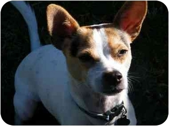 Jack Russell Terrier/Chihuahua Mix Puppy for adoption in San Antonio, Texas - Dingo in SA