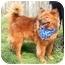 Photo 4 - Chow Chow Mix Dog for adoption in Cincinnati, Ohio - Marley