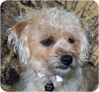 Yorkie, Yorkshire Terrier/Poodle (Miniature) Mix Puppy for adoption in Lynnwood, Washington - Geisha