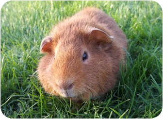Guinea Pig for adoption in Phoenix, Arizona - Frankie