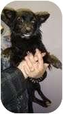 Papillon/Pomeranian Mix Dog for adoption in Foster, Rhode Island - Jasmine
