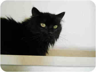 Domestic Longhair Cat for adoption in San Clemente, California - DORY