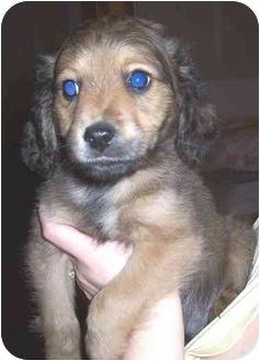 Cocker Spaniel Mix Puppy for adoption in Burlington, Massachusetts - Trey