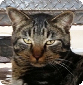 Domestic Shorthair Cat for adoption in Bentonville, Arkansas - Cosmo