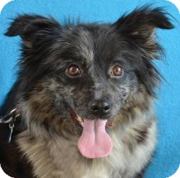 Tibetan Spaniel Mix Dog for adoption in Minneapolis, Minnesota - Moxie