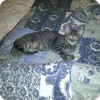 Domestic Shorthair Kitten for adoption in Toronto, Ontario - Jack