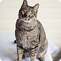 Domestic Shorthair Cat for adoption in Carencro, Louisiana - Bobby