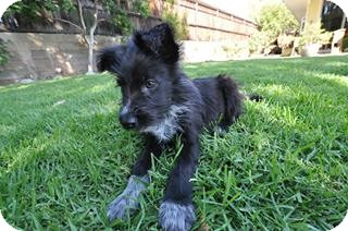 Border Collie Mix Puppy for adoption in Salt Lake City, Utah - TOBY