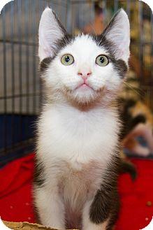 Domestic Shorthair Kitten for adoption in Irvine, California - Reid