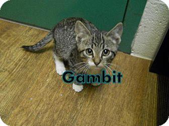 Domestic Shorthair Cat for adoption in Lewisburg, West Virginia - Gambit