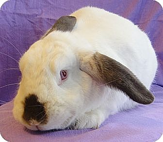 Lop, French Mix for adoption in Los Angeles, California - Lulu
