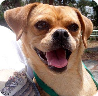 Pug/Beagle Mix Dog for adoption in Key Largo, Florida - Polly