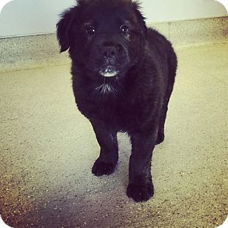 Chow Chow Mix Puppy for adoption in Scottsdale, Arizona - 1