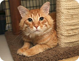 Domestic Mediumhair Cat for adoption in Yorba Linda, California - Tyger