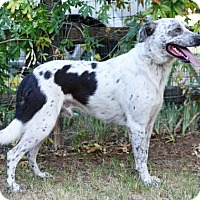 English Springer Spaniel/Labrador Retriever Mix Dog for adoption in Grand Prairie, Texas - Splash