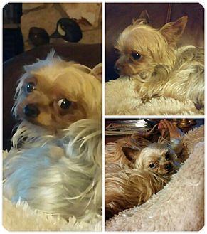 Yorkie, Yorkshire Terrier Puppy for adoption in St. Augustine, Florida - York