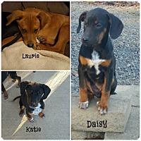 Adopt A Pet :: Doberman Mix Puppies - Brattleboro, VT