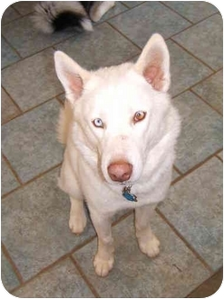 Siberian Husky Dog for adoption in Horsham, Pennsylvania - Cayman