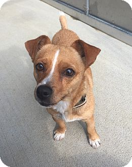 Chihuahua Mix Dog for adoption in Wilmington, Delaware - Grace