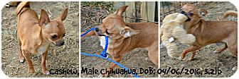 Chihuahua Puppy for adoption in Siler City, North Carolina - Cashew