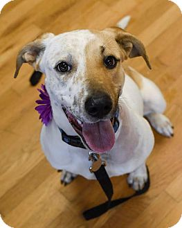 Labrador Retriever/Pointer Mix Dog for adoption in FOSTER, Rhode Island - Mara
