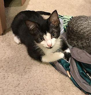 Domestic Shorthair Kitten for adoption in Tampa, Florida - Garth