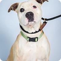 American Pit Bull Terrier Mix Dog for adoption in Santa Paula, California - Bronsen