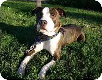 American Pit Bull Terrier/Labrador Retriever Mix Dog for adoption in Auburn, California - Cruiser