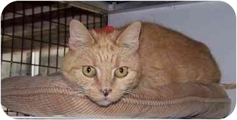 Domestic Shorthair Cat for adoption in Seattle c/o Kingston 98346/ Washington State, Washington - Tiger