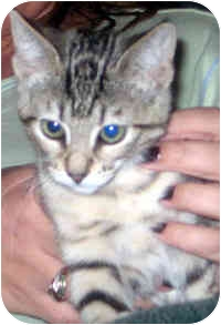 Domestic Shorthair Kitten for adoption in Jacksonville, Florida - Chica