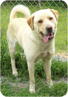 Retriever (Unknown Type)/Great Pyrenees Mix Dog for adoption in Howes Cave, New York - Goliath - On Hold
