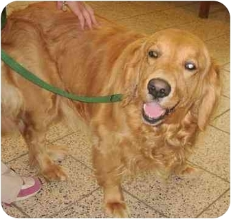 Golden Retriever Dog for adoption in Cleveland, Ohio - Amber