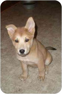 Siberian Husky/Australian Shepherd Mix Puppy for adoption in Franklin, Virginia - Suki